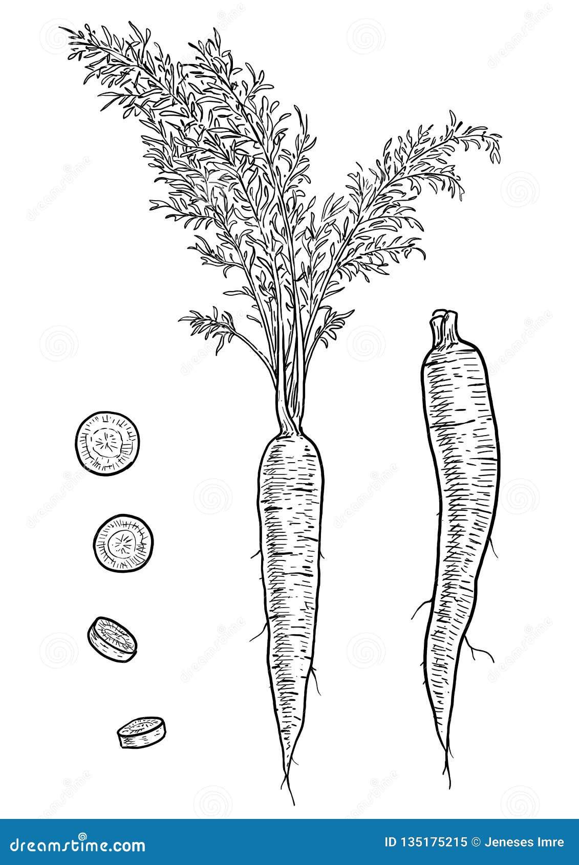 Ejemplo De La Zanahoria Dibujo Grabado Tinta Linea Arte Vector Ilustracion Del Vector Ilustracion De Arte Linea 135175215 Aprende con este dibujo de zanahoria paso a paso. zanahoria dibujo grabado tinta