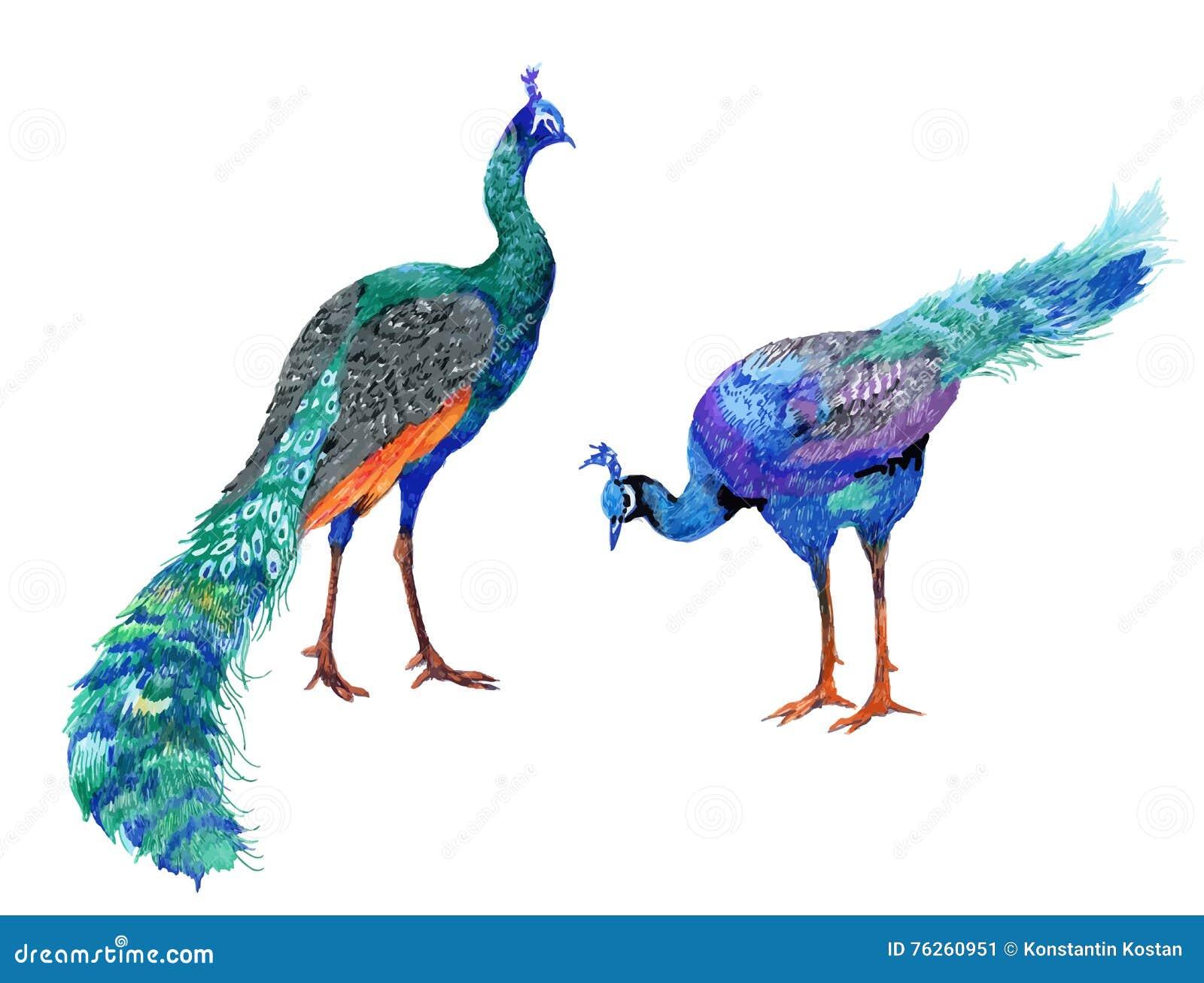 Ejemplo De Los Pavos Reales Del Dibujo De La Acuarela Ilustración