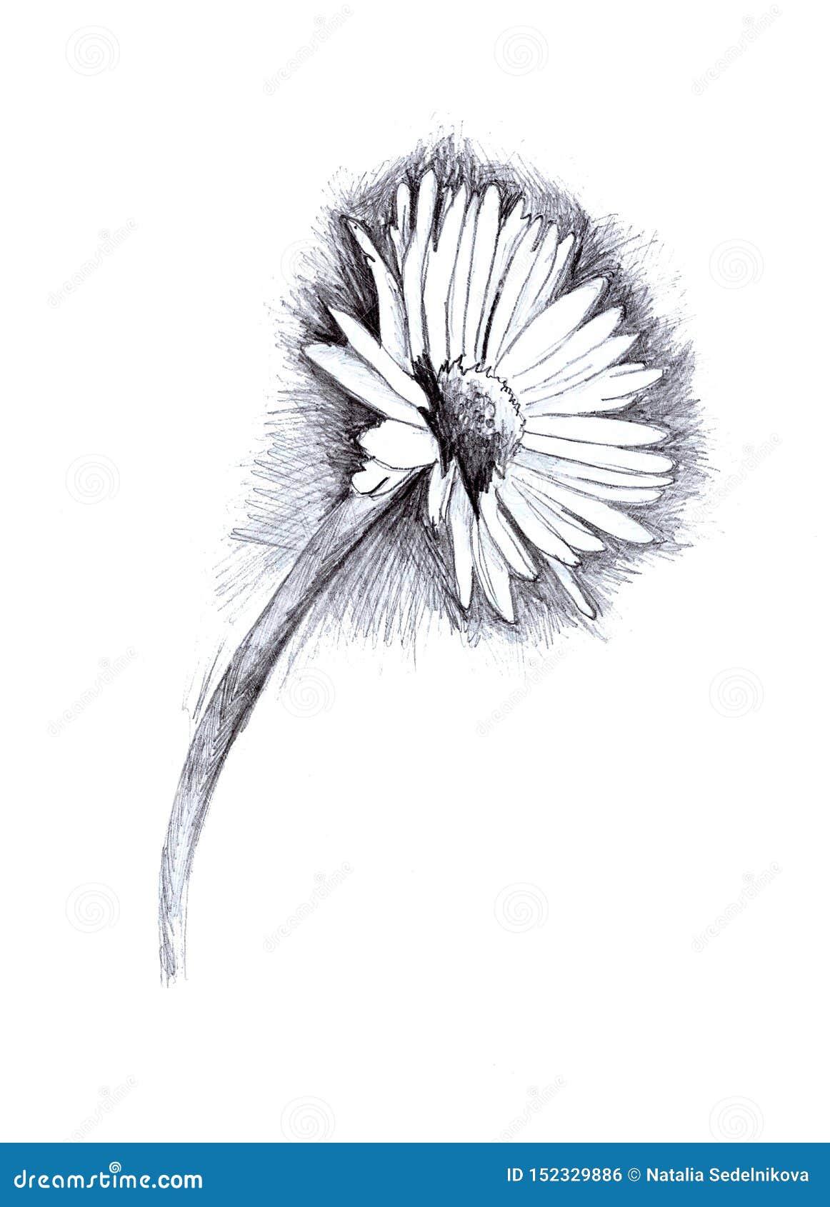 Ejemplo de un lápiz de la margarita