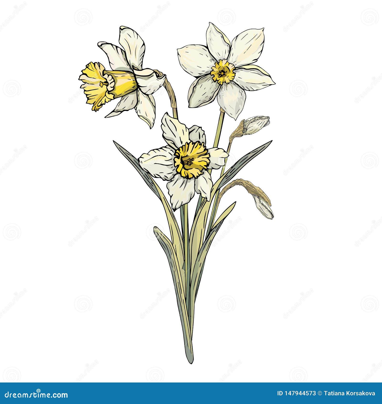 Ejemplo decorativo del vector del ramo del narciso