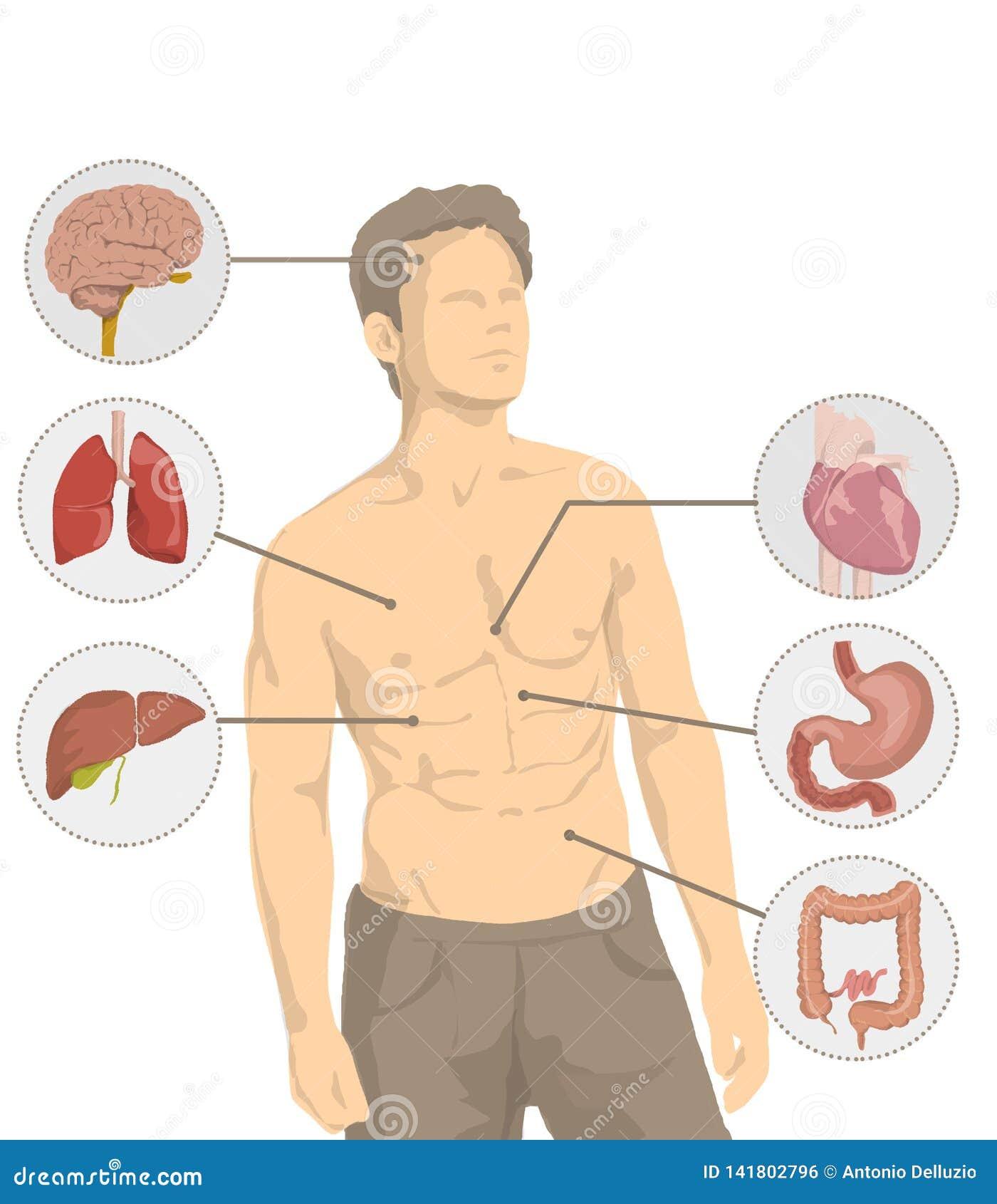 Ejemplo Del Hombre Descamisado Con Los órganos Principales Del Cuerpo Humano Corazón Cerebro Hígado Intestino Estómago Pulm Stock De Ilustración Ilustración De Malo Cure 141802796