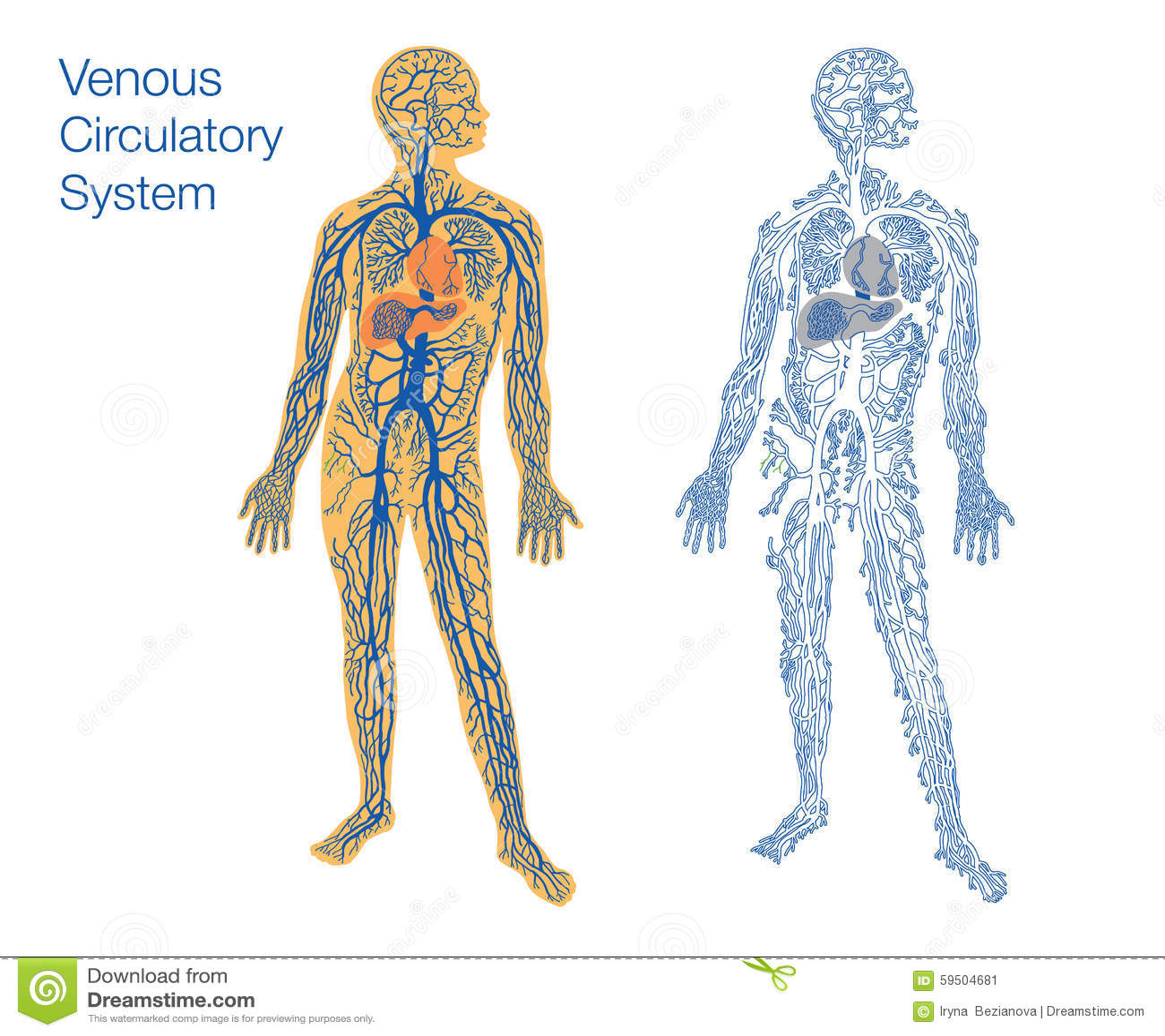 Único Diagrama Circulatorio Cresta - Anatomía de Las Imágenesdel ...