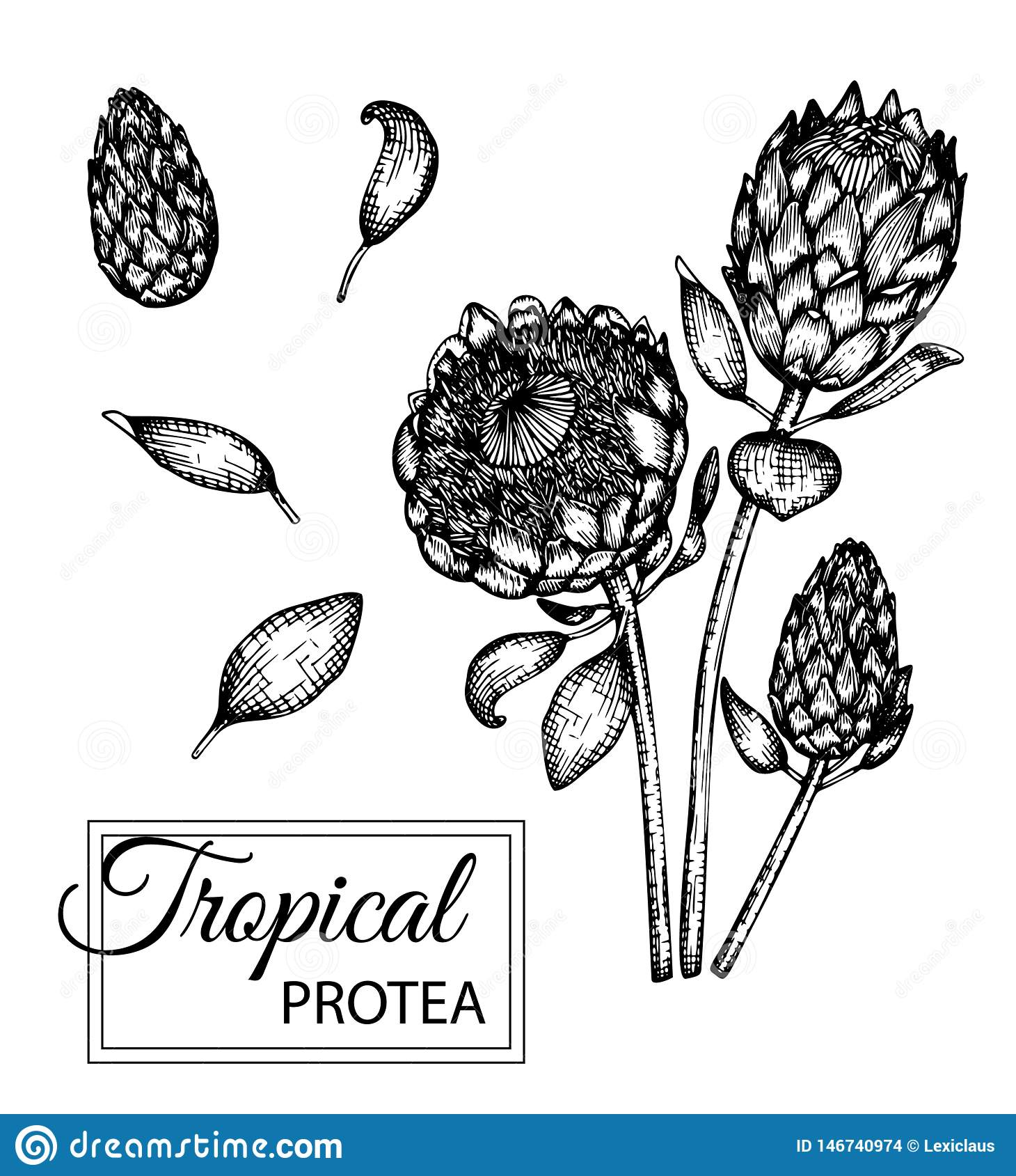Ejemplo del vector de la flor tropical aislado en el fondo blanco