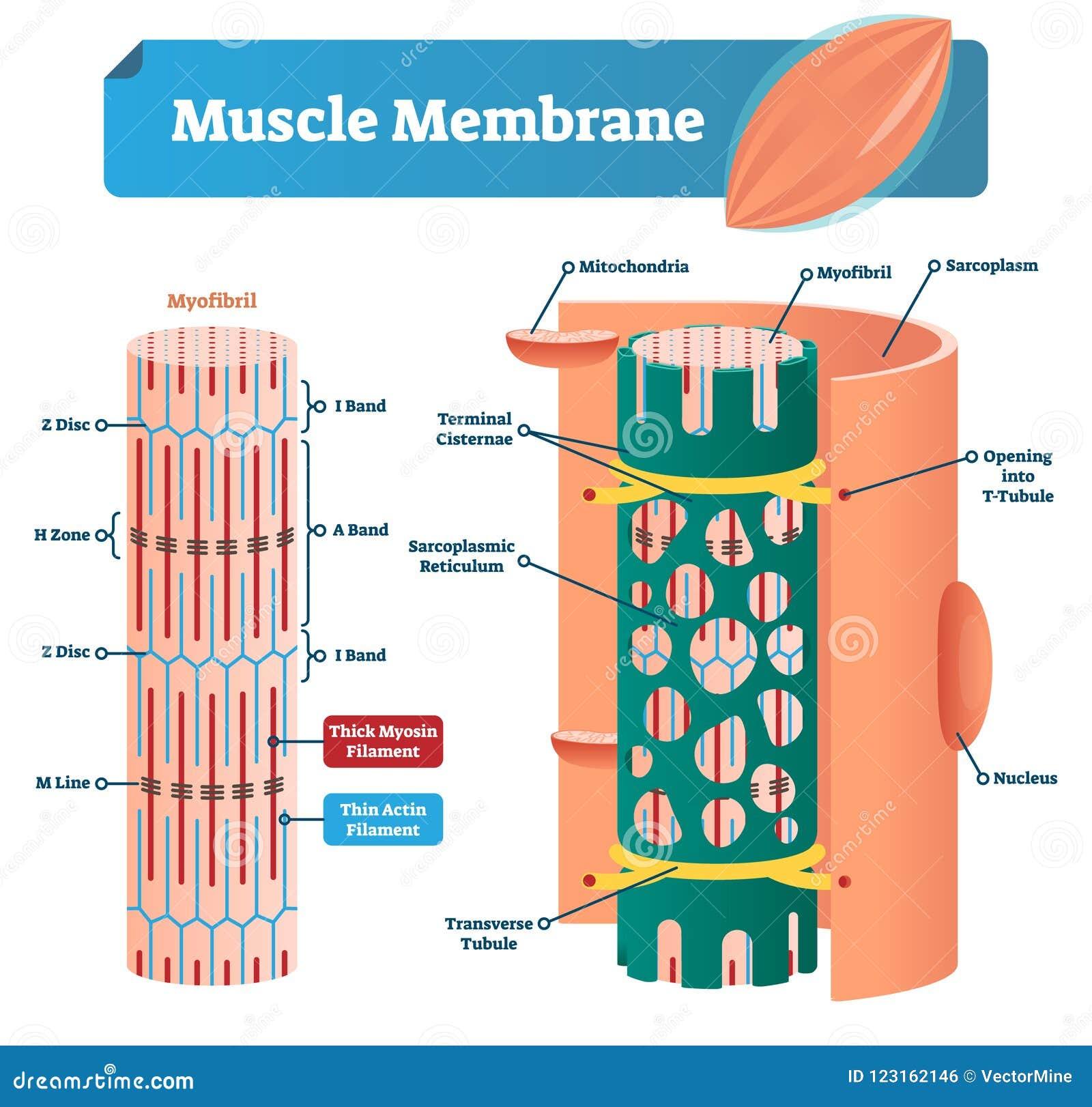 Ejemplo Del Vector De La Membrana Del Músculo Esquema Etiquetado Con ...