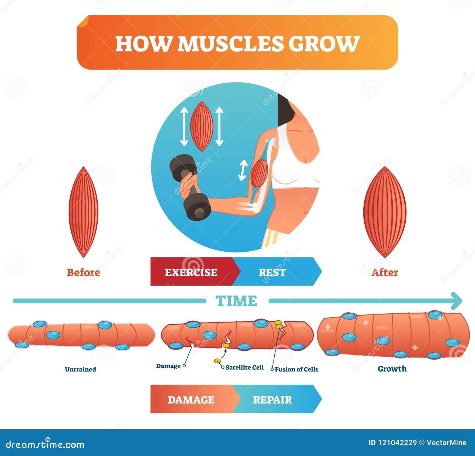 Ejemplo del vector sobre cómo los músculos crecen Diagrama y esquema educativos médicos con la célula y la fusión por satélite de