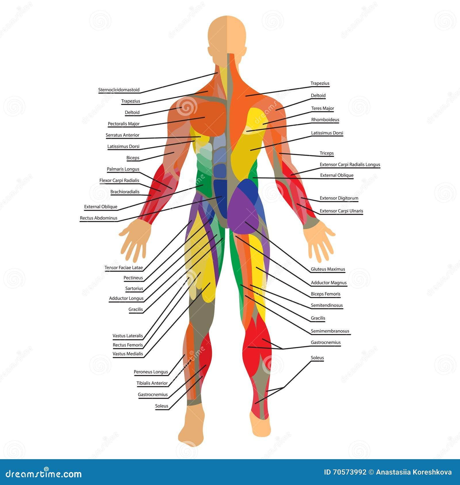 Ejemplo Detallado De Músculos Humanos Ejercicio Y Guía Del Músculo ...