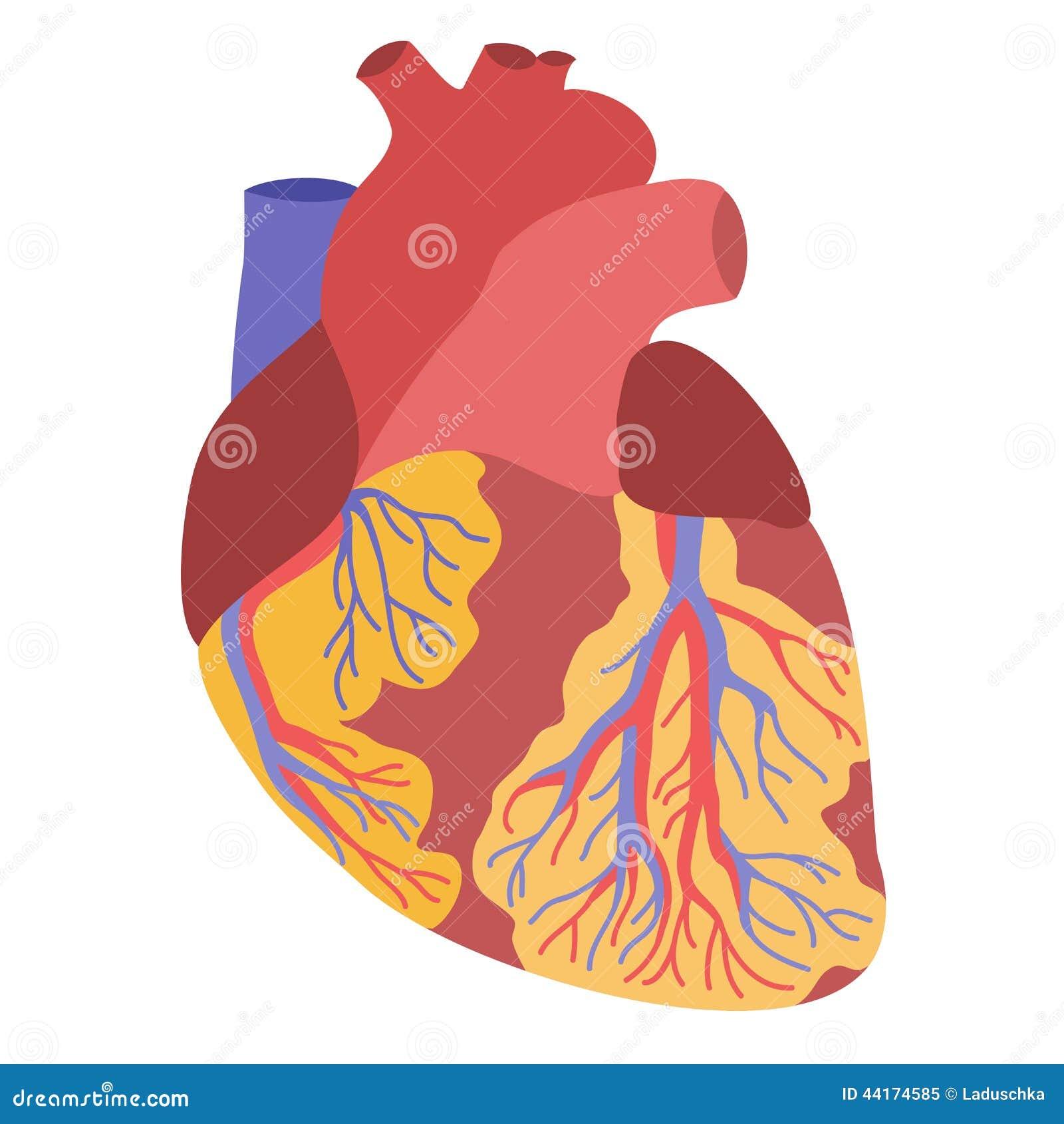 Ejemplo Humano De La Anatomía Del Corazón Stock de ilustración ...
