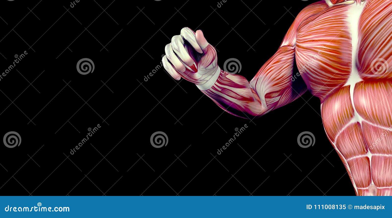 Ejemplo Humano De La Anatomía Del Cuerpo Masculino Del Brazo Humano ...
