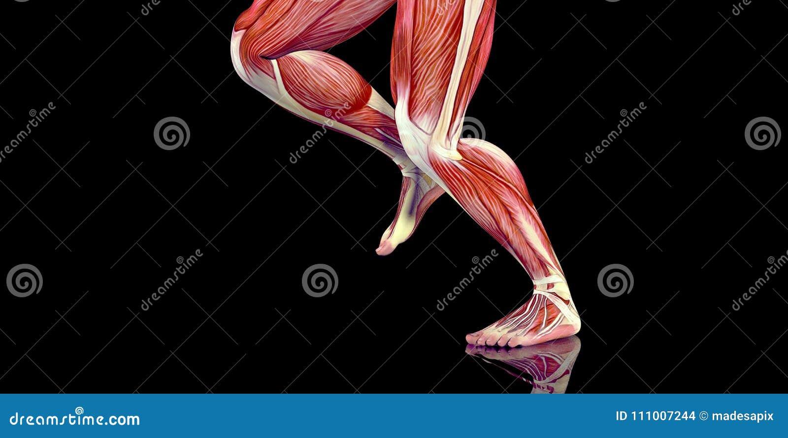 Ejemplo Humano De La Anatomía Del Cuerpo Masculino De Un Basculador ...