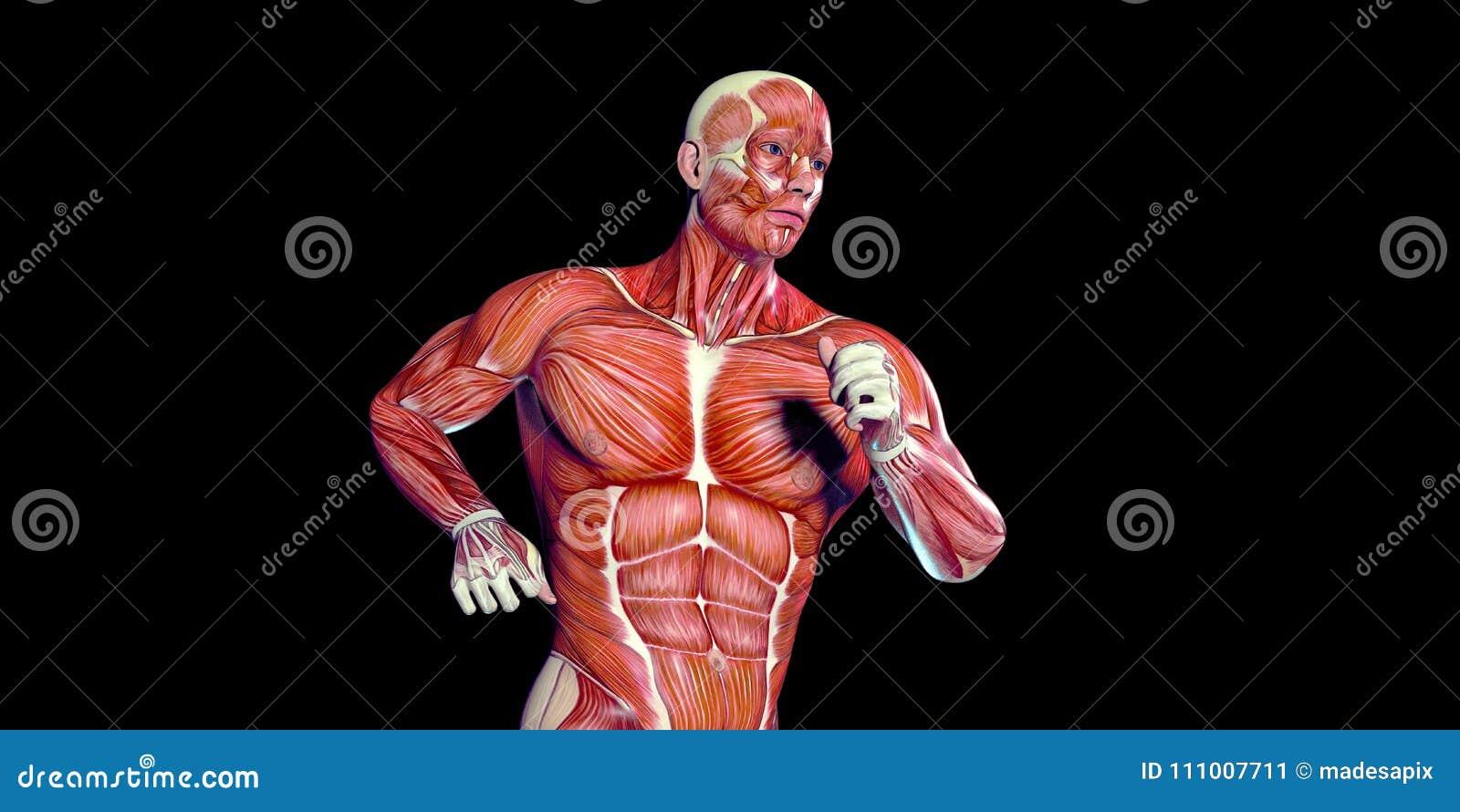 Ejemplo Humano De La Anatomía Del Cuerpo Masculino De Un Torso ...