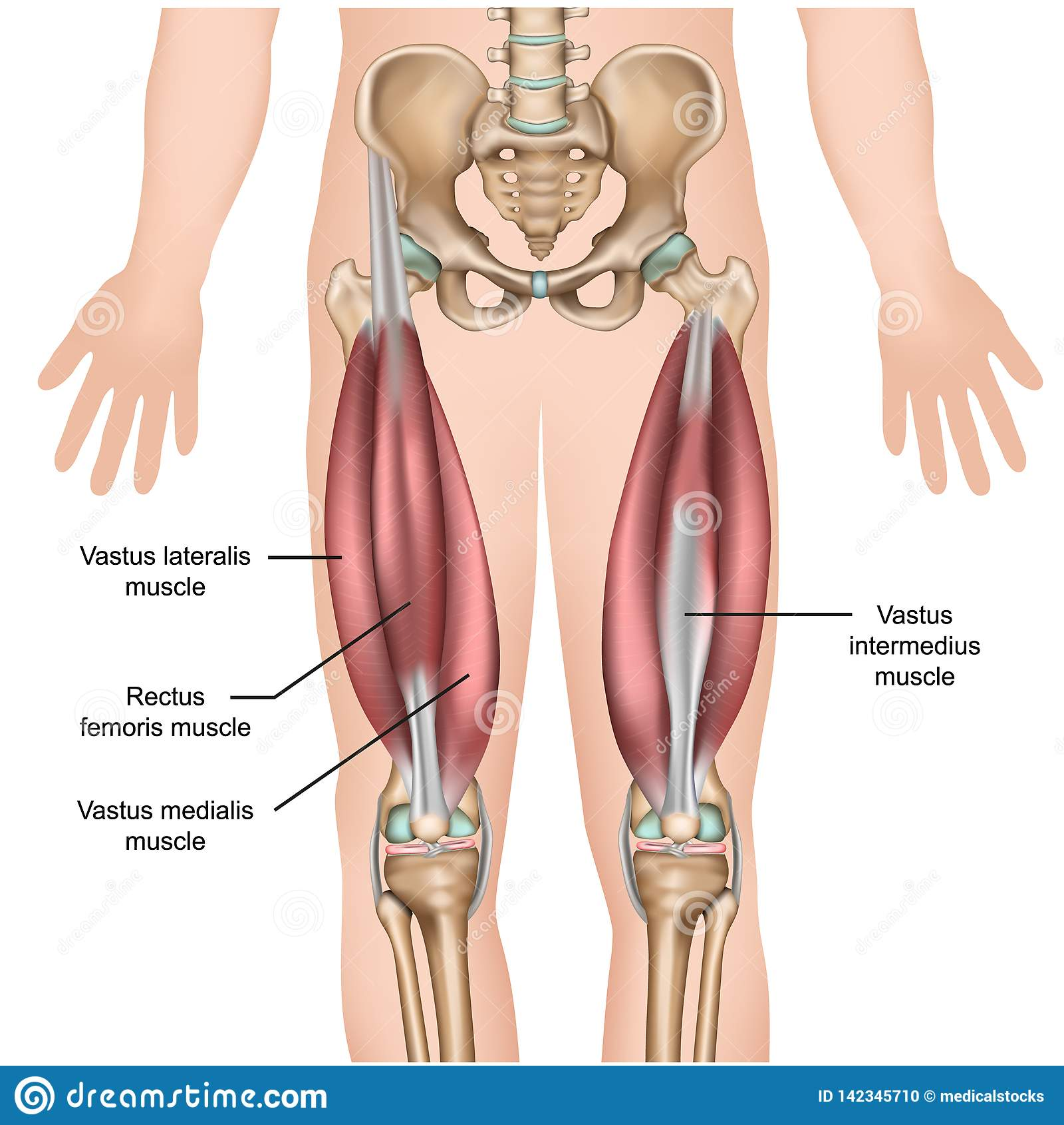 Ejemplo médico de la anatomía 3d del músculo del cuadriceps
