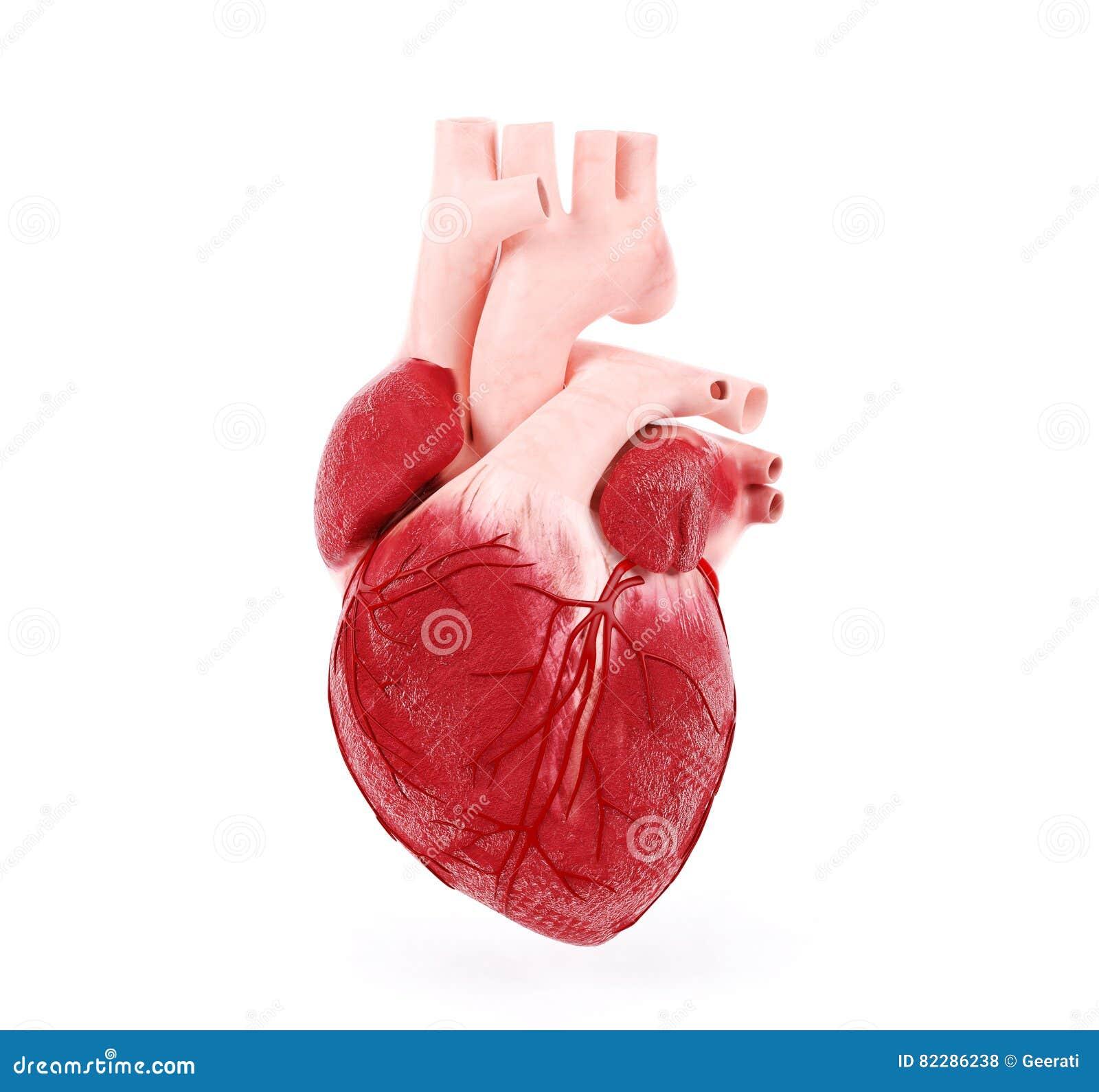 Ejemplo médico de un corazón humano