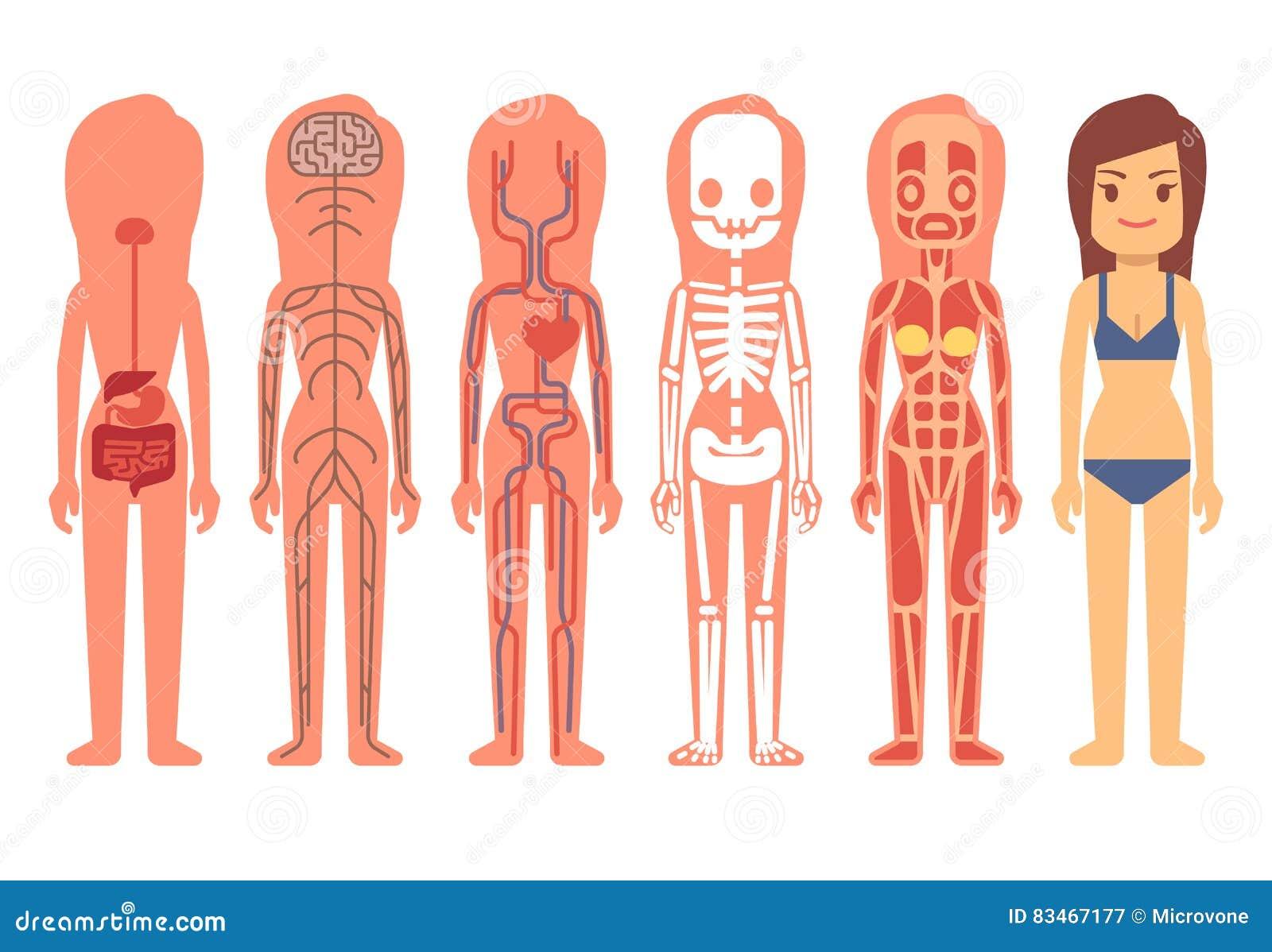 Ejemplo Médico Del Vector De La Anatomía Del Cuerpo De La Mujer ...