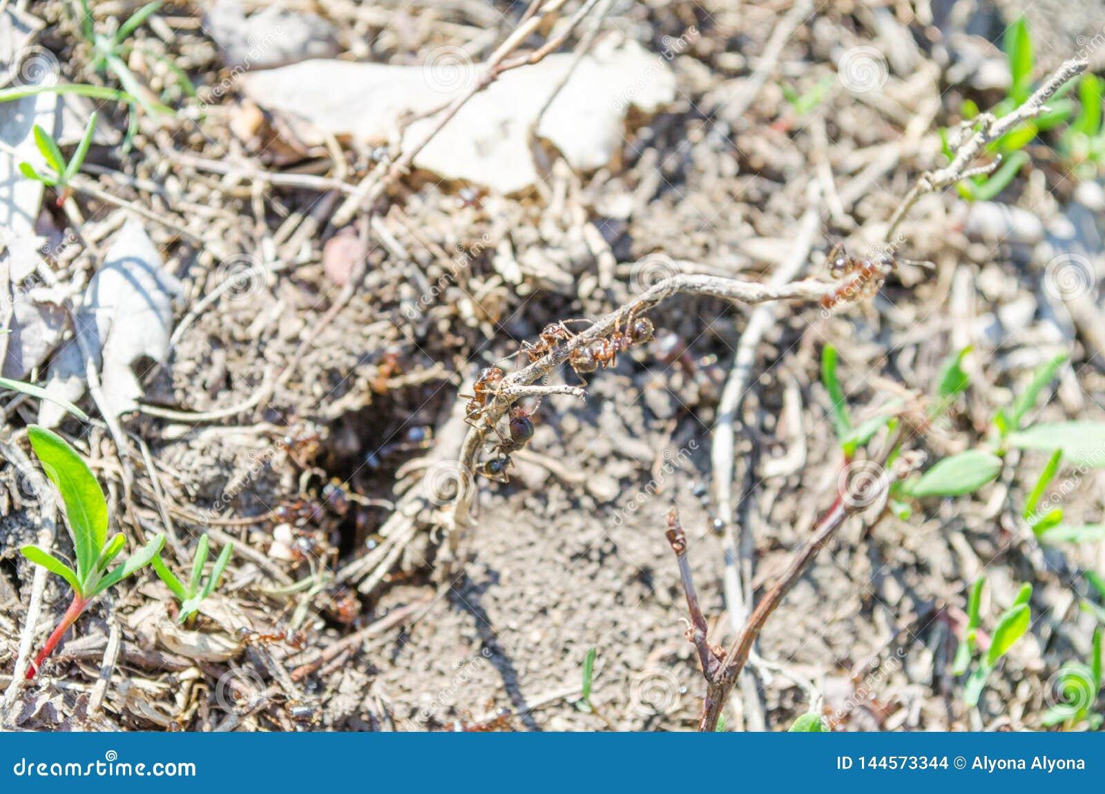 Ekologia Miasto mieszkan?w parki Mieszkanowie gazony insekty Mr?wek mr?wki na trawie Zielona trawa i mr?wki anthill ziemia
