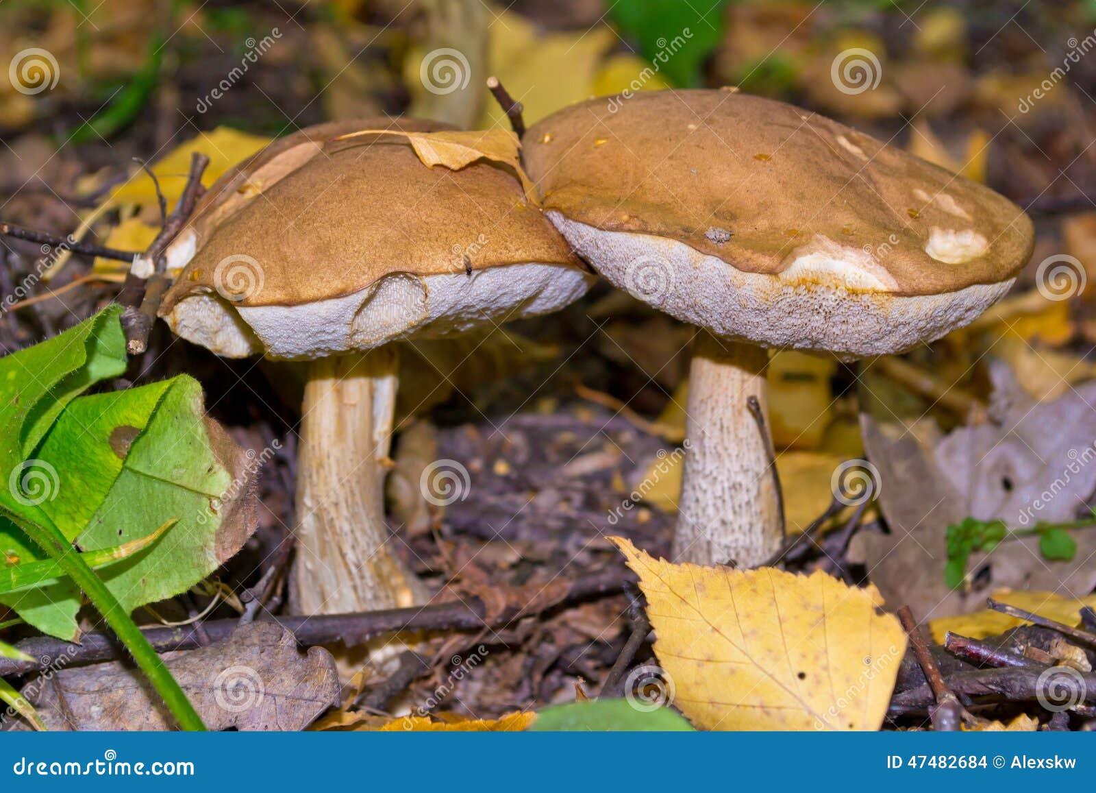 Ekorre för skog s för boletusbröd edulis