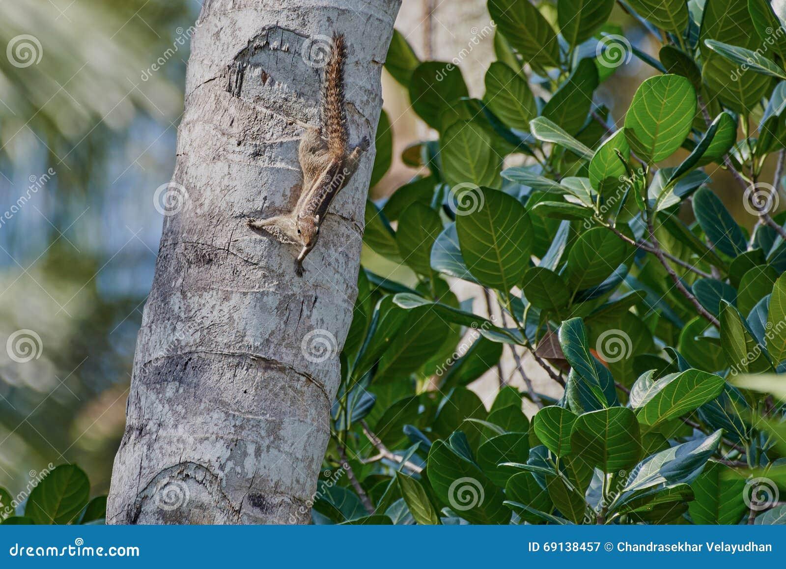 Ekorre på en kokospalmstam som ser vaken