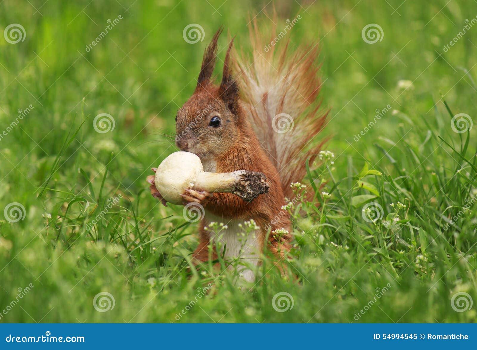 Ekorre som äter fältchampinjonen