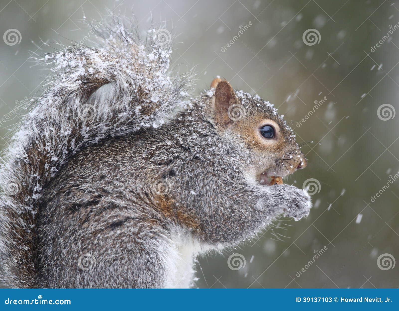 Ekorre som äter i snö