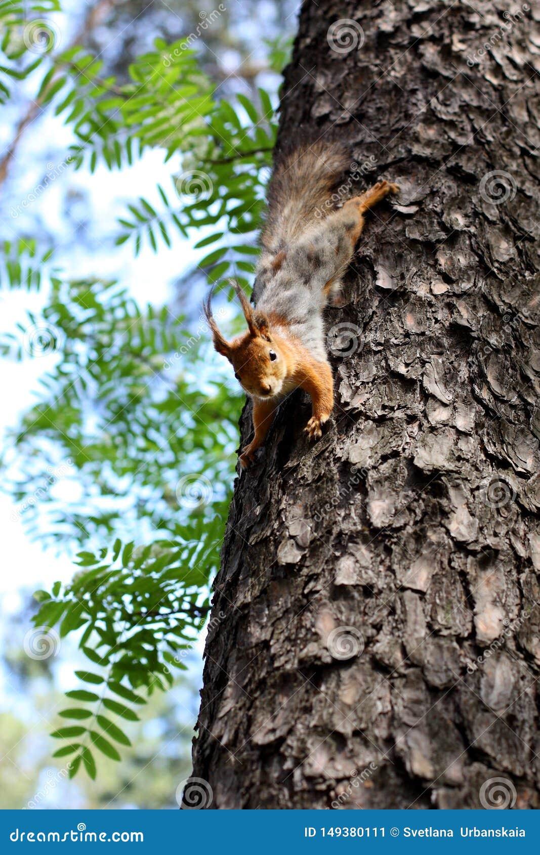Ekorre som hoppar på ett träd i skogen i sommar