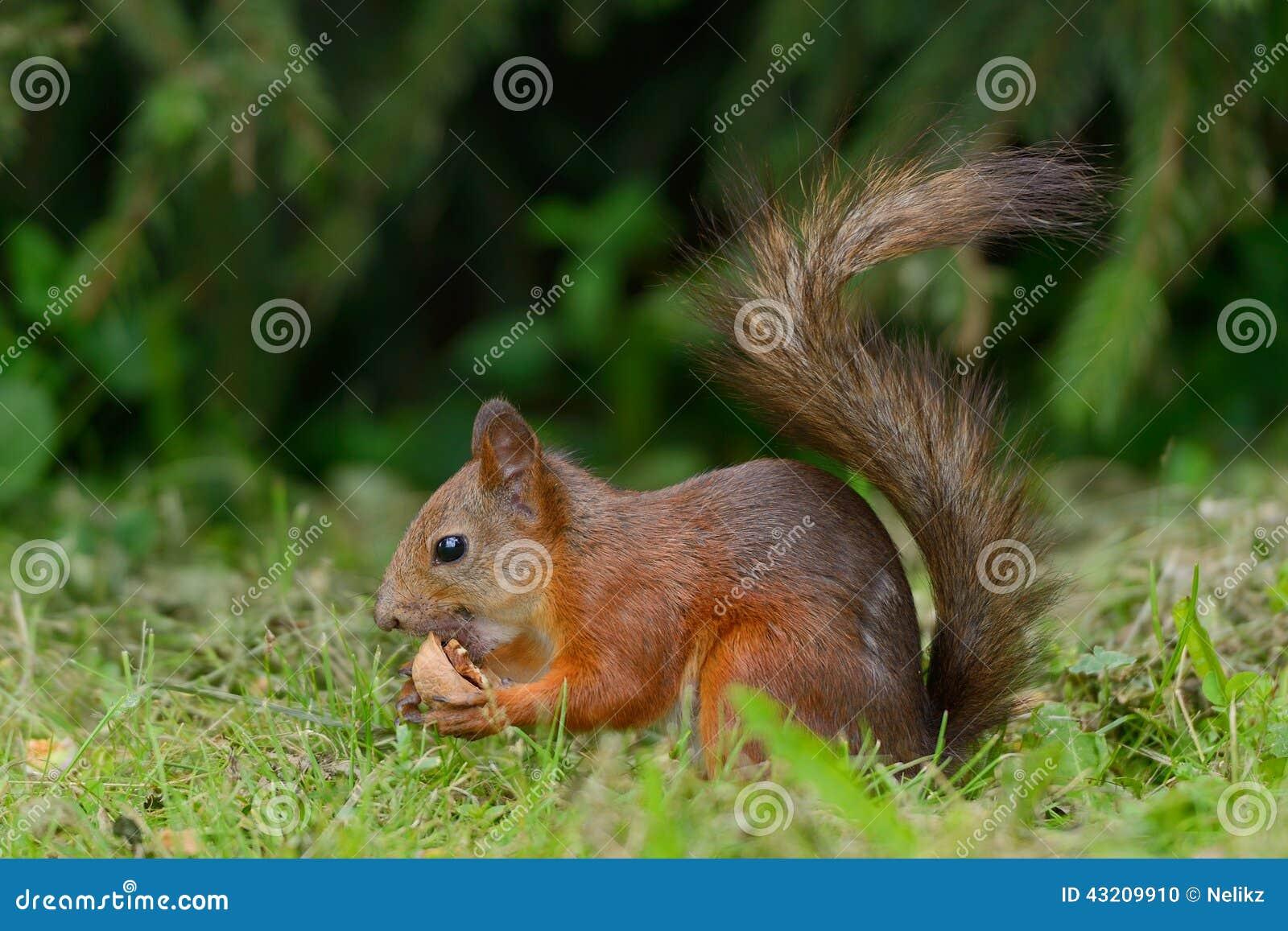 Download Ekorresammanträde På Ett Gräs Arkivfoto - Bild av closeup, fluffigt: 43209910