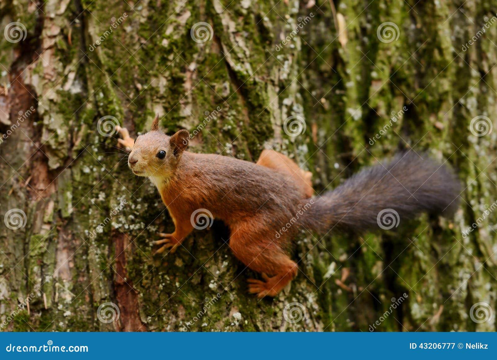 Download Ekorresammanträde På Ett Träd Fotografering för Bildbyråer - Bild av hår, hungrigt: 43206777