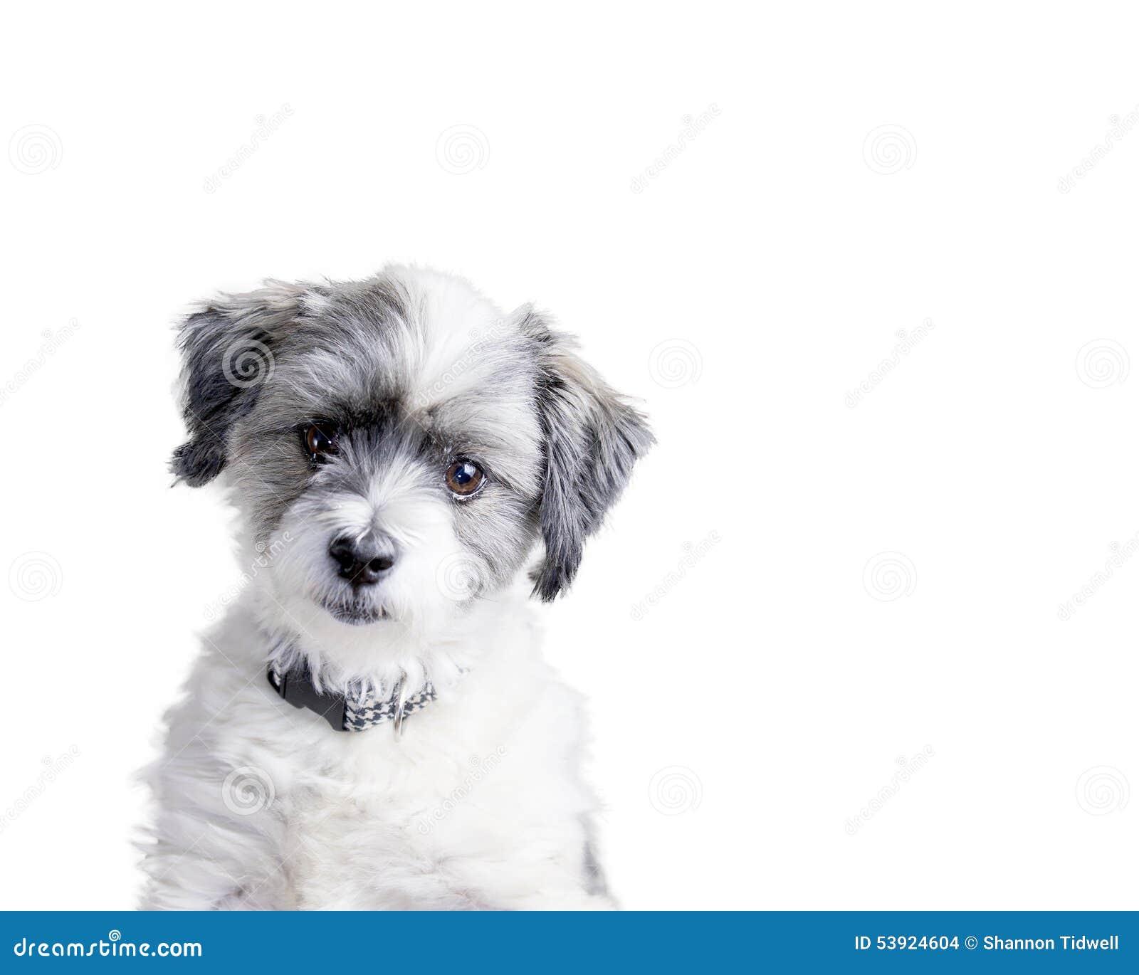 Ekspresyjny bielu pies na odosobnionym białym tle