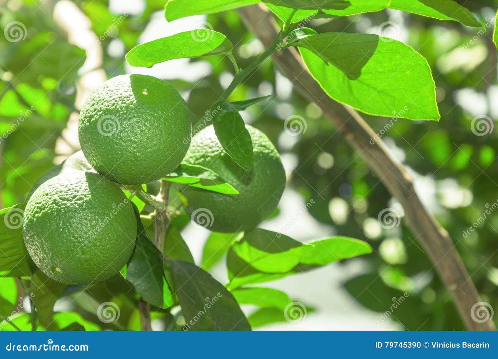 El árbol con la cal verde da fruto con las hojas en el fondo Fruta verde orgánica del limón lista para la cosecha