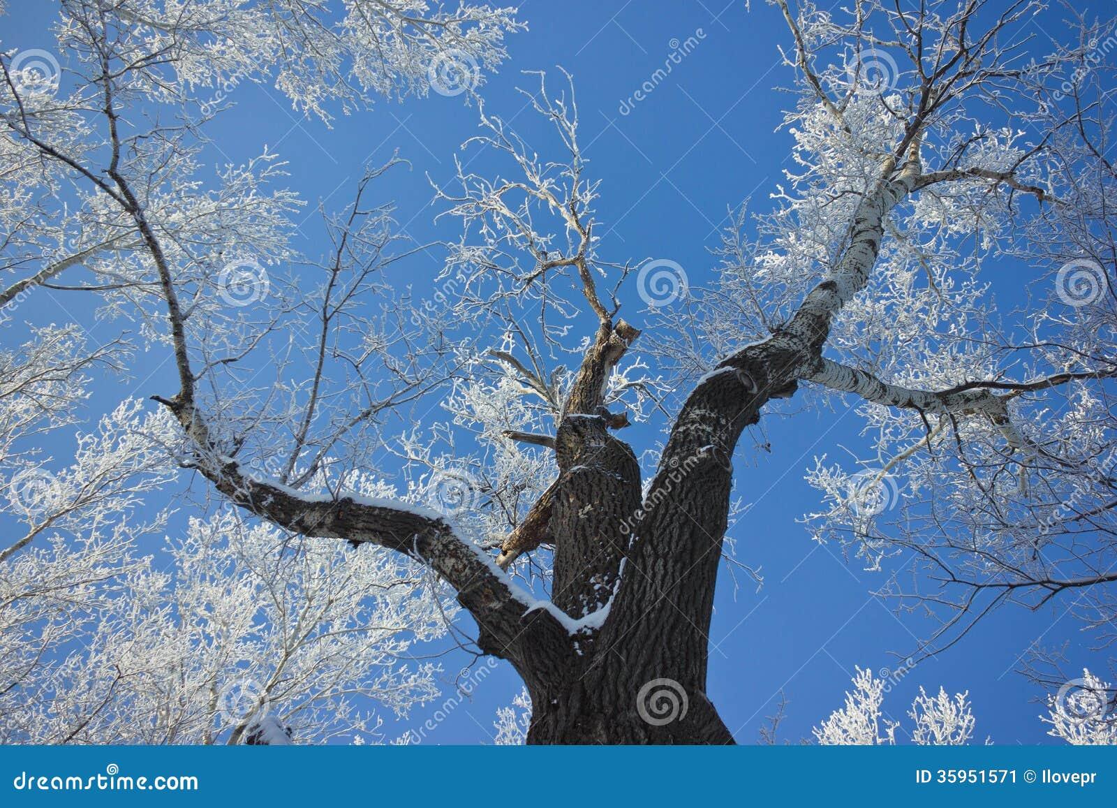 El árbol cubierto con helada