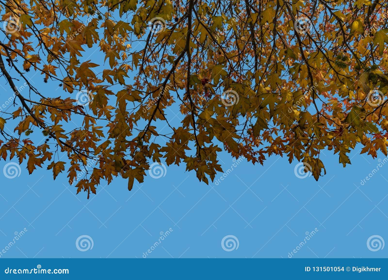 El árbol de arce hojea contra un cielo azul