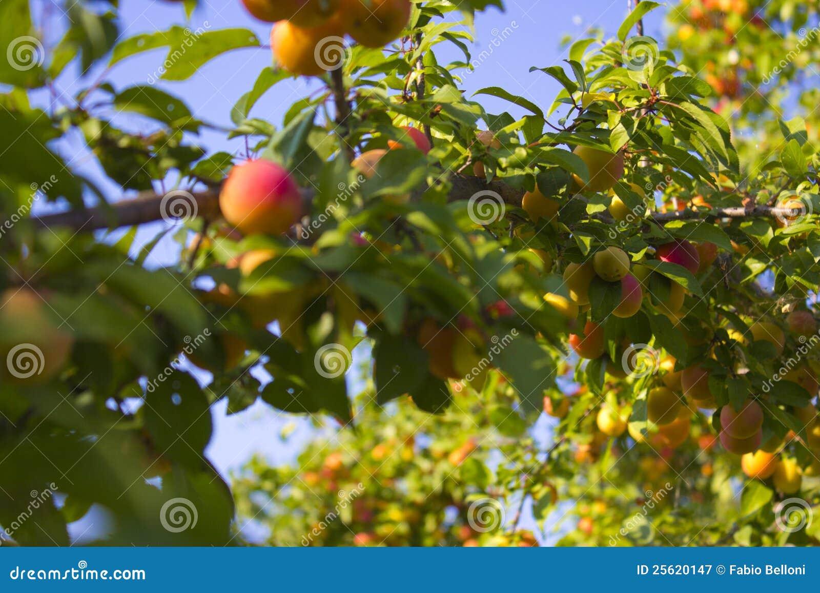 El árbol de melocotón