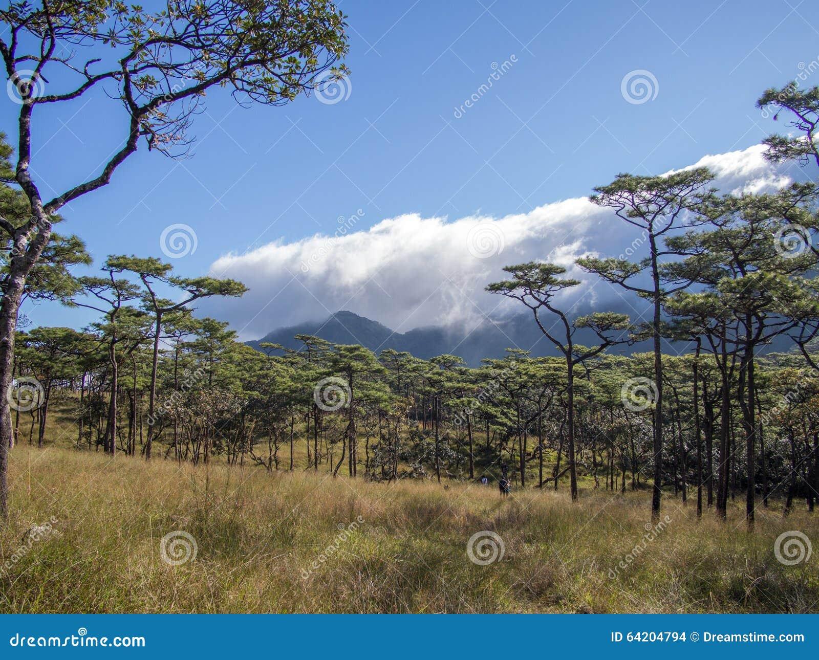 El árbol de pino en el parque nacional del dao del soi del phu, Tailandia Uttaradit