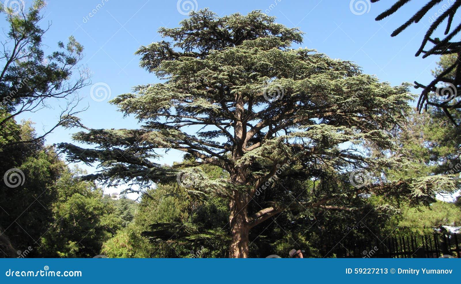Download El árbol de pino gigante imagen de archivo. Imagen de cubierto - 59227213