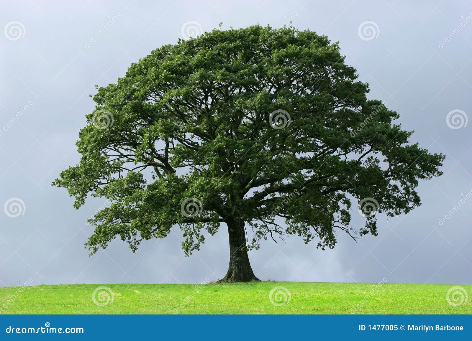 El árbol De Roble Foto de archivo libre de regalías - Imagen: 1477005