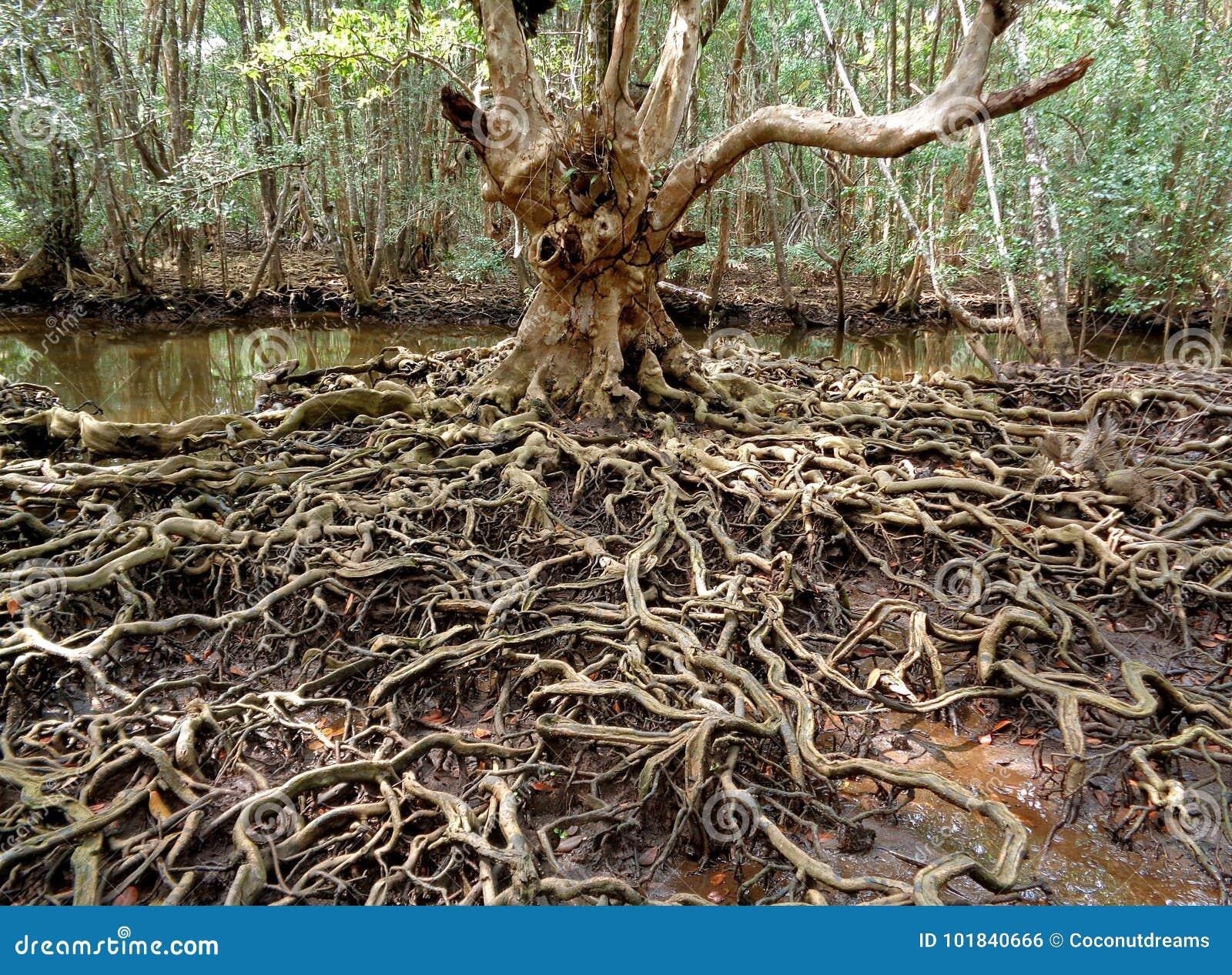 El árbol increíble arraiga en el bosque del mangle de la provincia de Trat