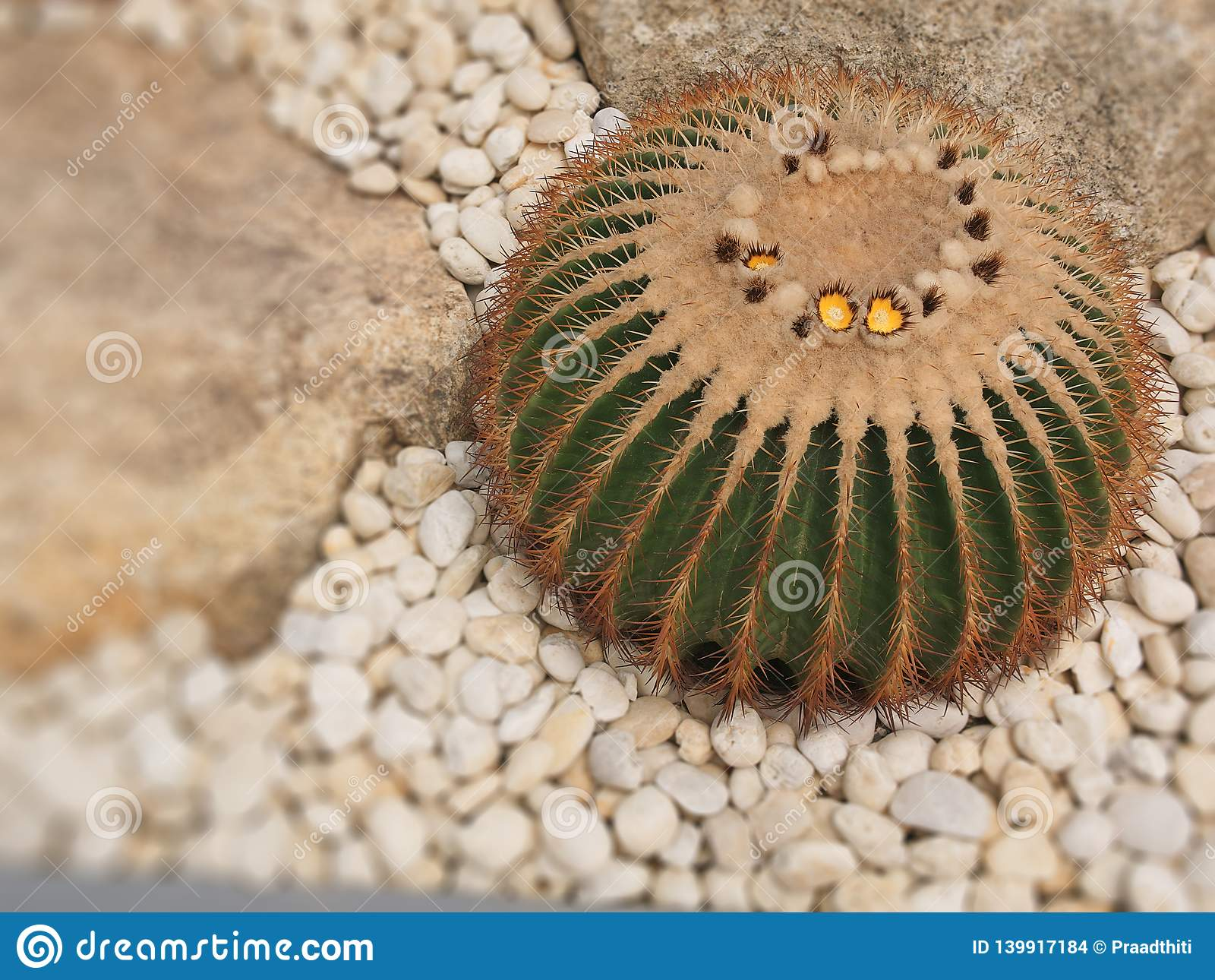 El árbol viejo del cactus de la bola en el jardín