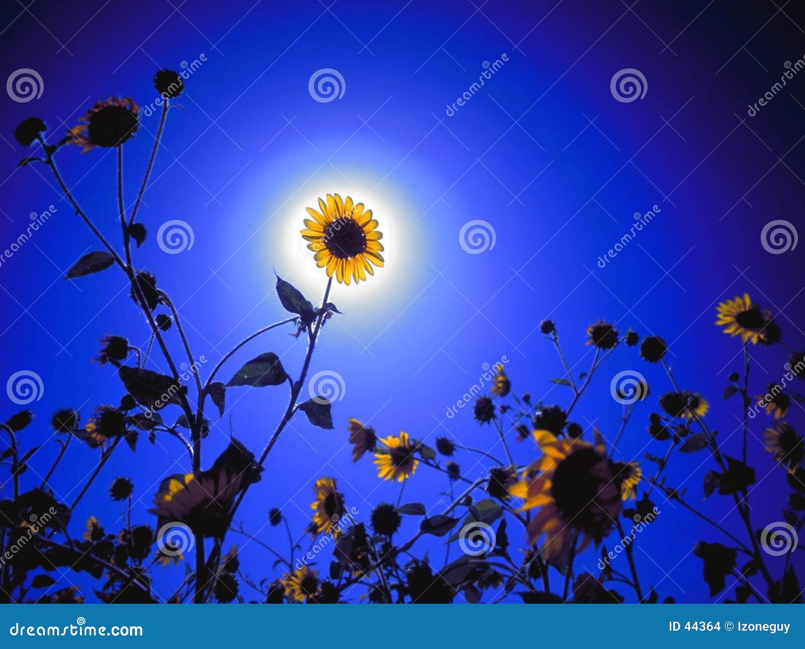 Download El foto de archivo. Imagen de girasol, crezca, flor, crecimiento - 44364