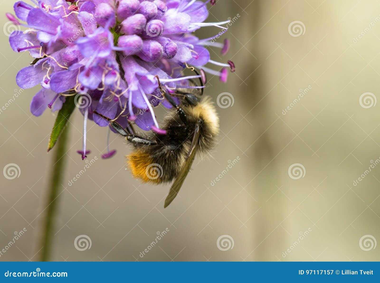 El abejorro temprano o el abejorro de la temprano-jerarquización, pratorum del Bombus, varón que se sentaba en diablos mordió esc
