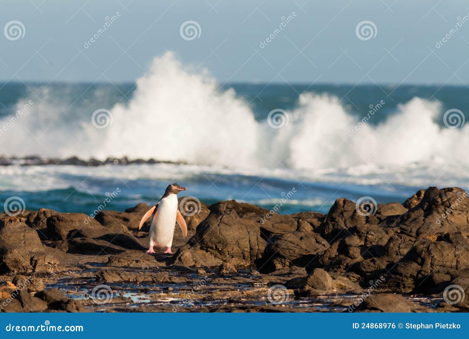 El adulto NZ Amarillo-eyed el pingüino u Hoiho en orilla