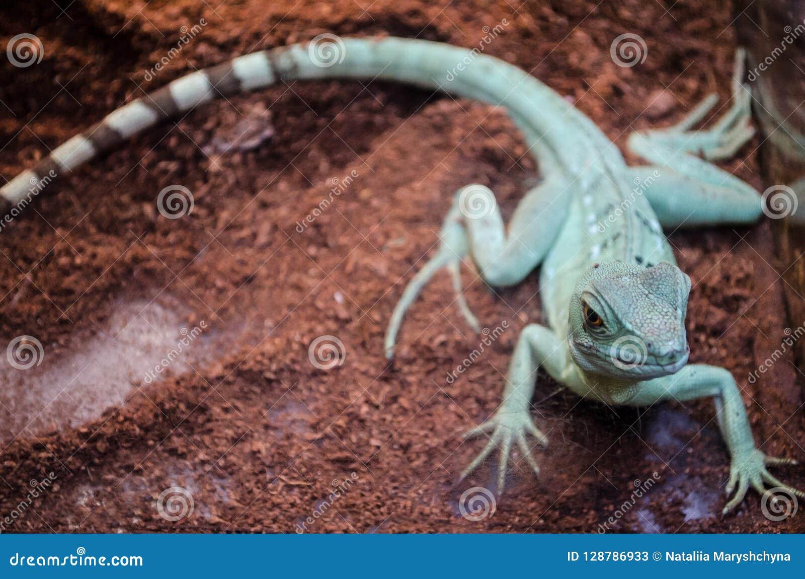 El Agama del lagarto verde con la cola rayada mira fijamente a través del vidrio en el parque zoológico de Kiev
