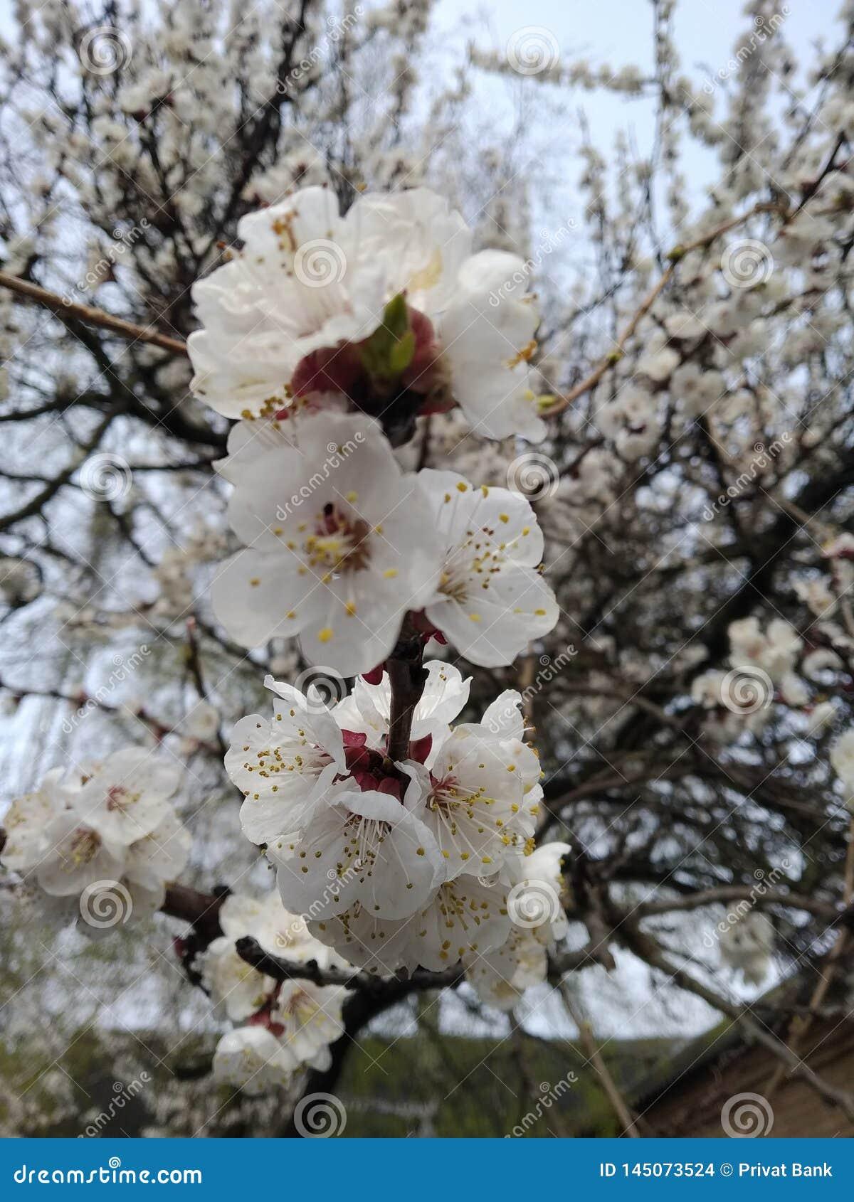 El albaricoque de la flor del albaricoque de la flor floreció flor hermosa