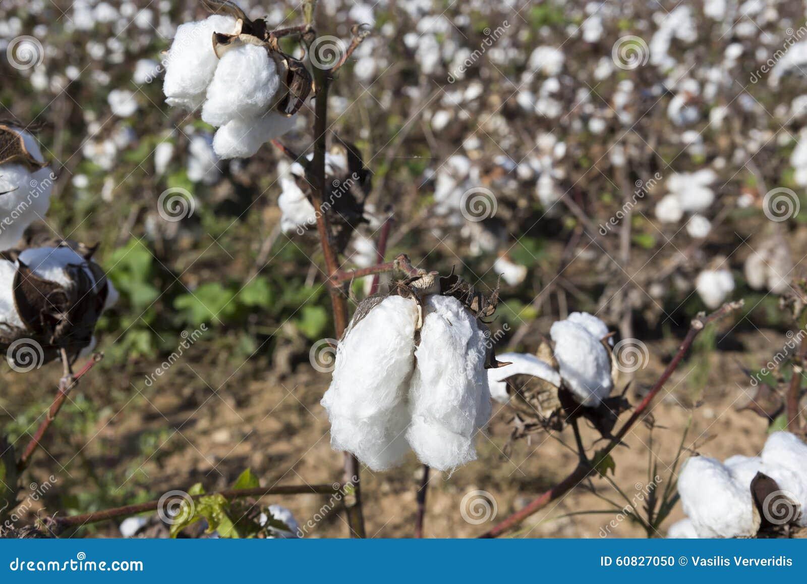 El algodón coloca blanco con el algodón maduro listo para cosechar