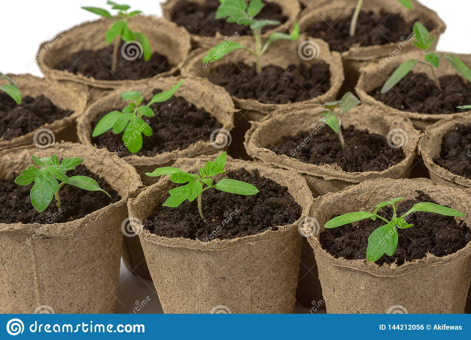 El alm?cigo joven del tomate brota en los potes de la turba aislados en el fondo blanco Concepto que cultiva un huerto