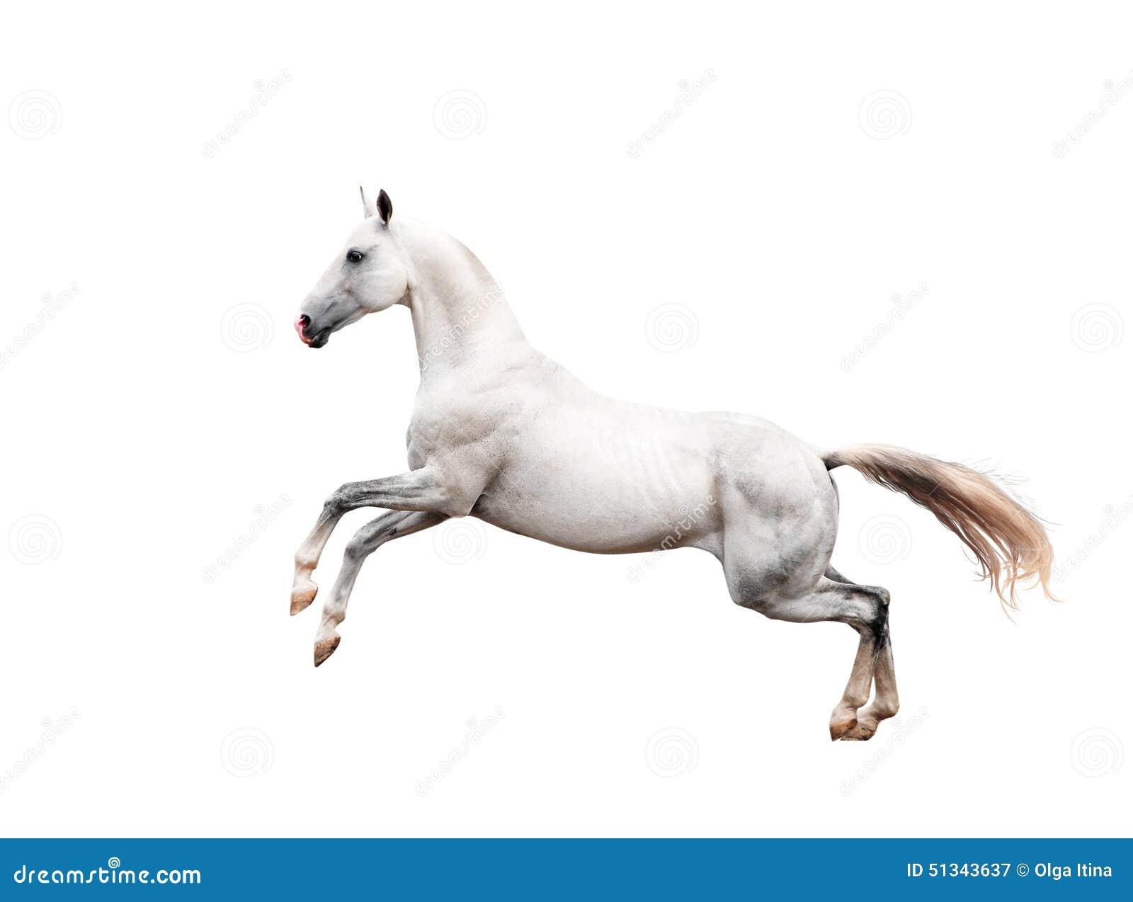 El alzarse blanco del caballo del akhal-teke aislado en negro