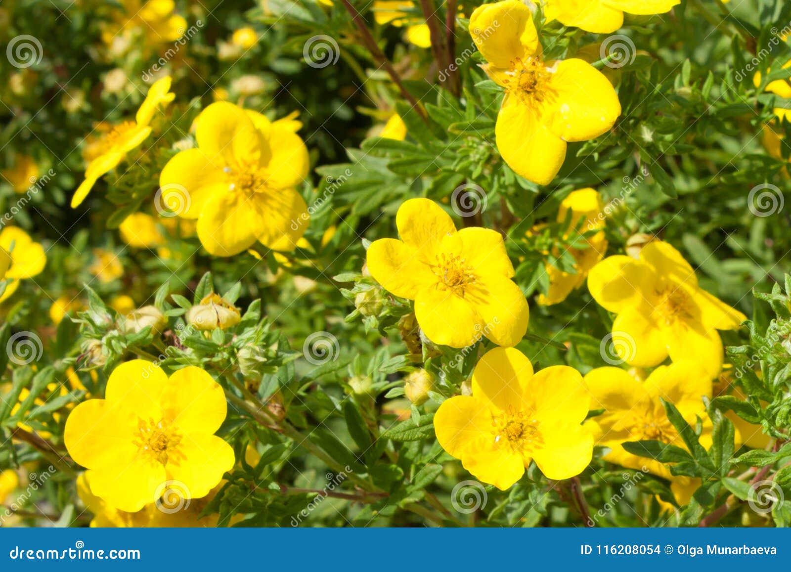 El amarillo florece el goldfinger del fruticosa del potentilla en naturaleza wallpaper