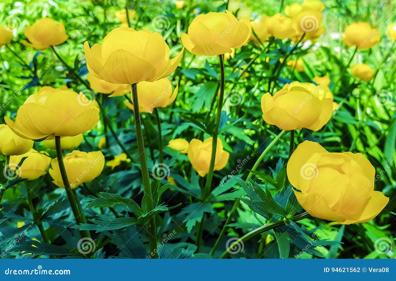 El amarillo hermoso florece asiaticus del Trollius en macizo de flores en lepisosteus