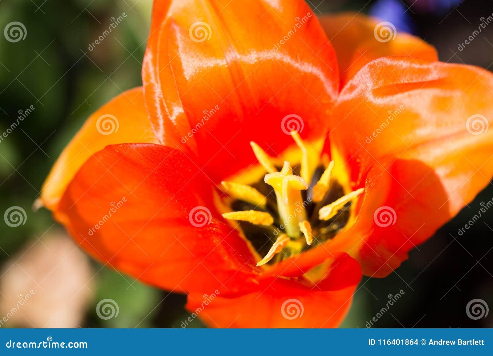 El ` anaranjado del emperador del ` del Tulipa florece en la floración en sol de la primavera