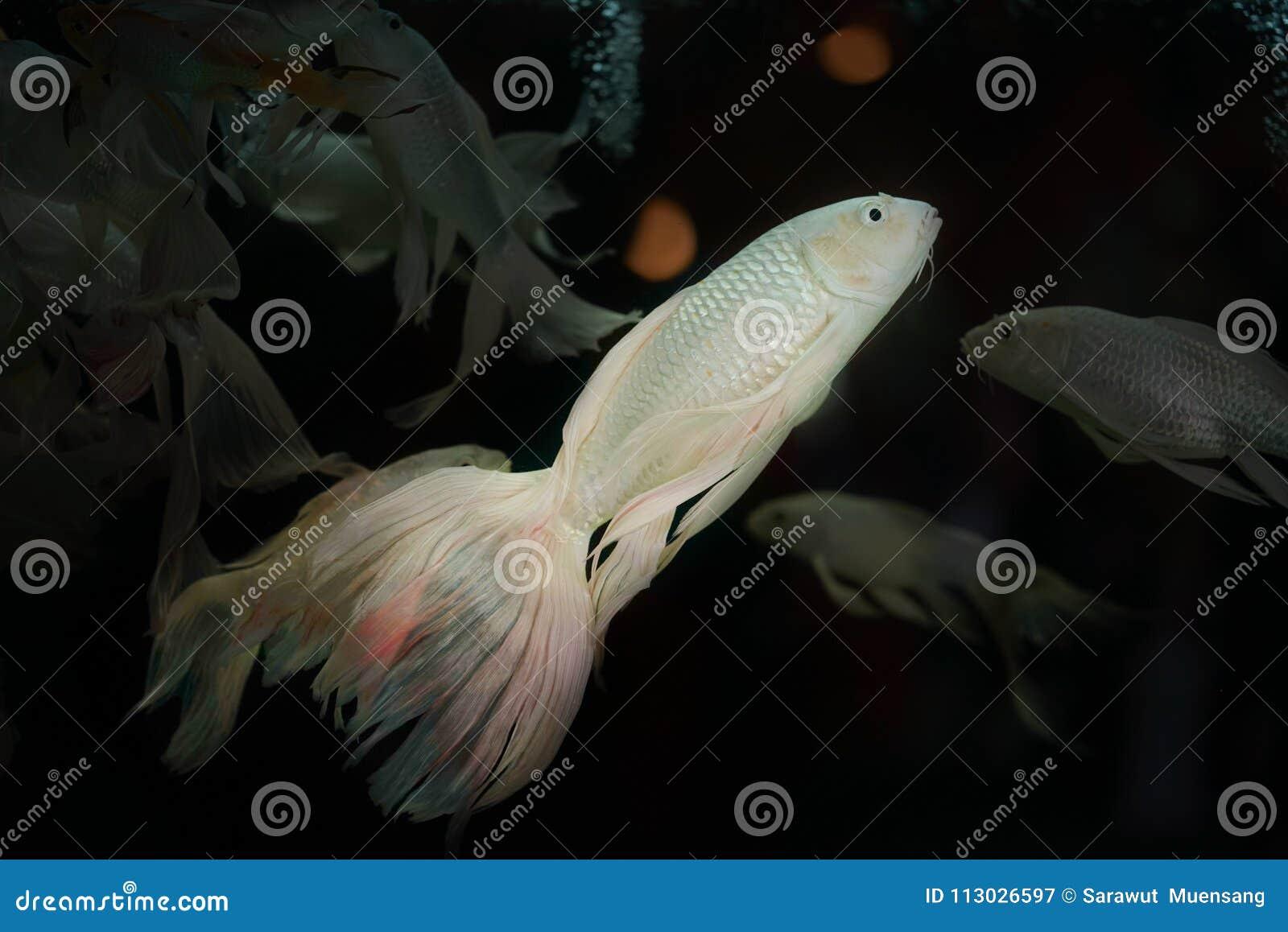 El angelote de agua dulce blanco del platino que el ` del scalare de Pterophyllum del ` es la especie más común de Pterophyllum m