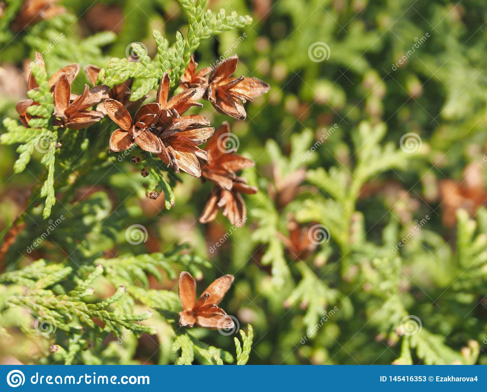 El Arborvitae es una planta imperecedera ornamental, es una decoraci?n del jard?n