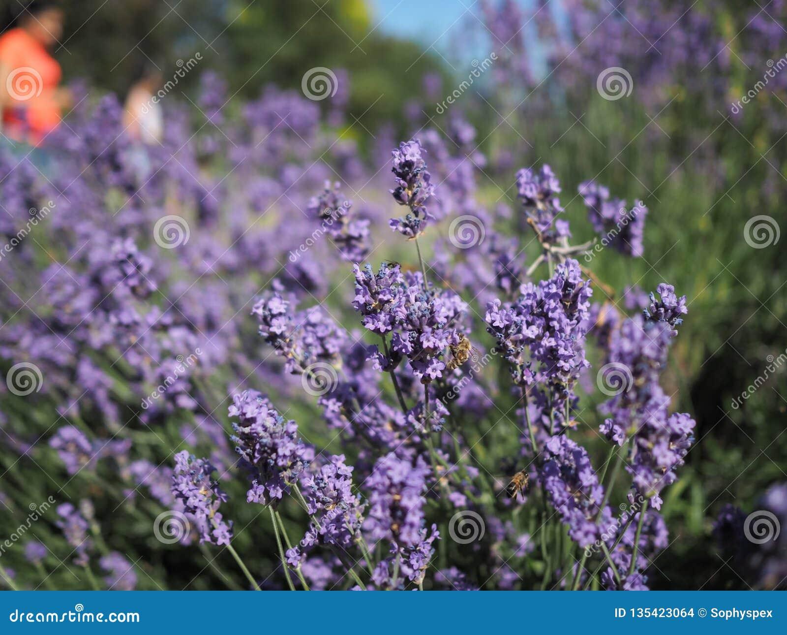 El arbusto de la lavanda visitó por las abejas de la miel