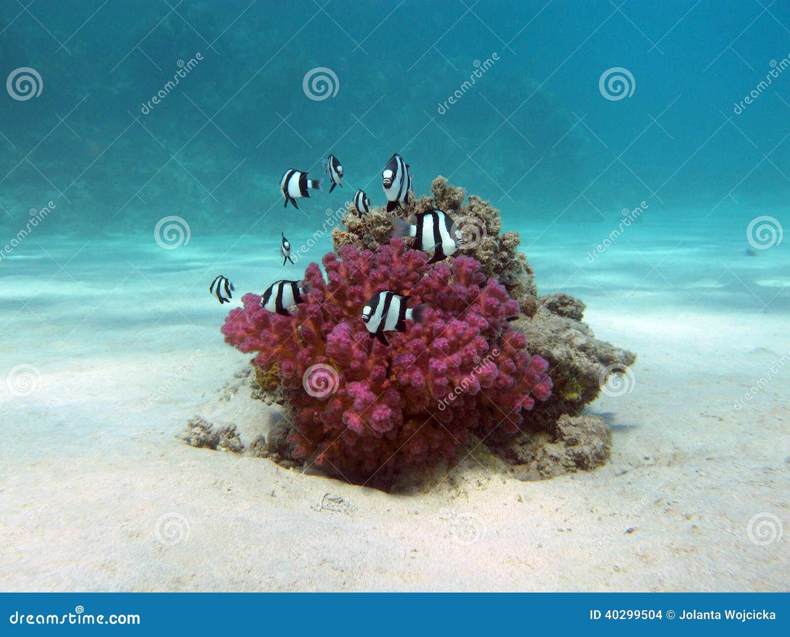 El arrecife de coral con el coral duro y los pescados exóticos blanco-ataron el damselfish en el mar tropical